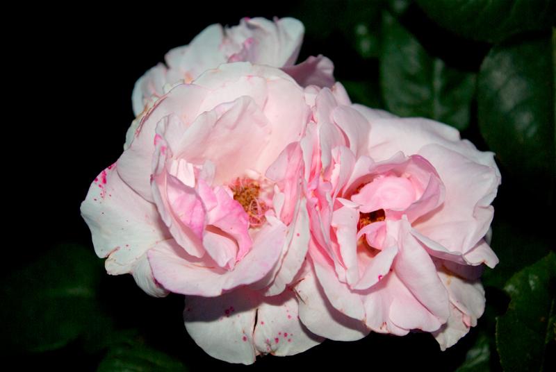"фото ""blossom"" метки: природа, цветы"
