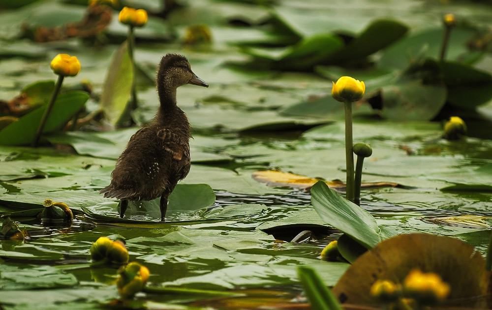 """фото """"Duck histories #3"""" метки: природа, дикие животные"""