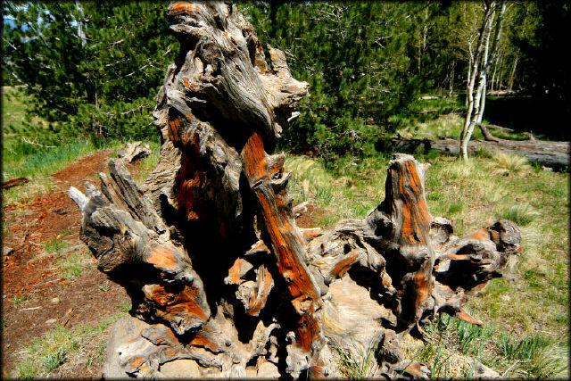 """фото """"Weathered Pine"""" метки: пейзаж, путешествия, Северная Америка, лес"""