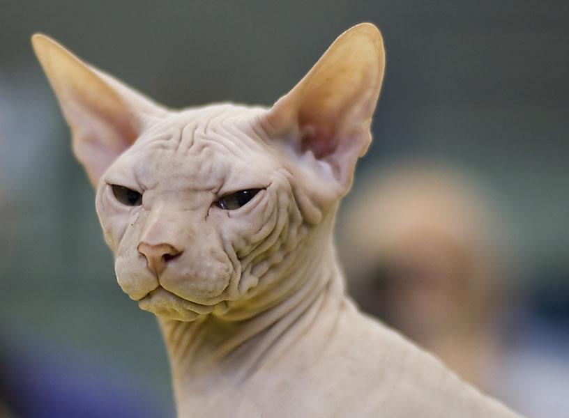 "фото ""27112 Sphynks Cat"" метки: природа, домашние животные"