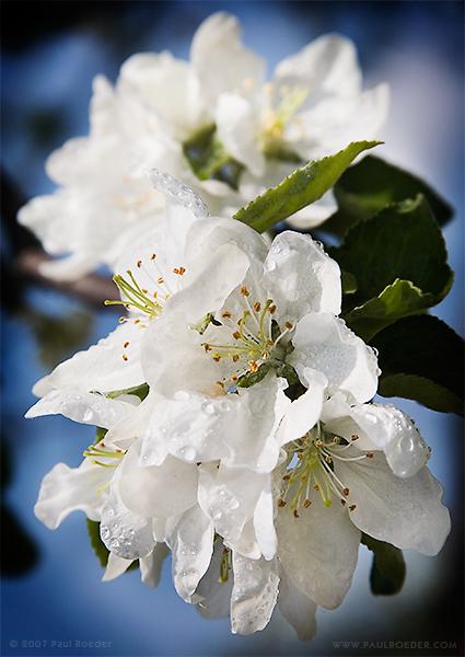 """фото """"Яблоневый Цвет"""" метки: природа, макро и крупный план, цветы"""