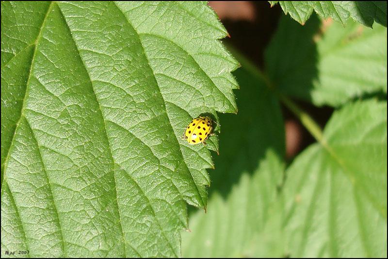 """фото """"Желтая."""" метки: природа, макро и крупный план, насекомое"""
