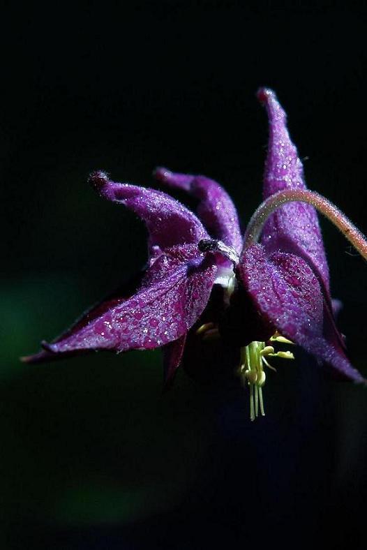 """фото """"сапфировая   явь"""" метки: макро и крупный план, природа, цветы"""
