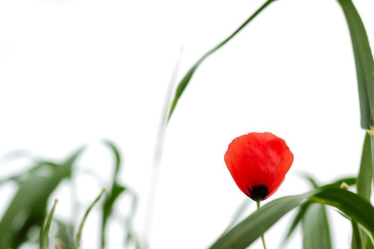 "фото ""Poppy Flower"" метки: природа, цветы"