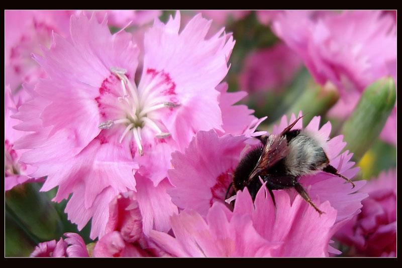 """фото """"Мохнатый..."""" метки: природа, насекомое, цветы"""