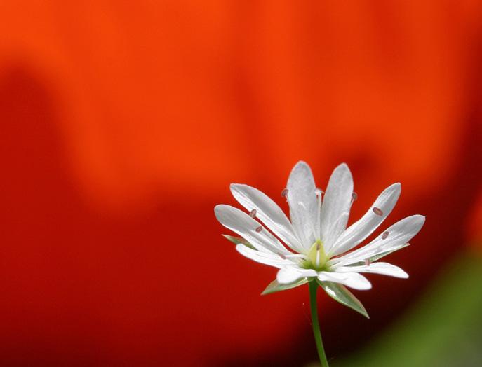 """фото """"Белое на красном"""" метки: природа, цветы"""
