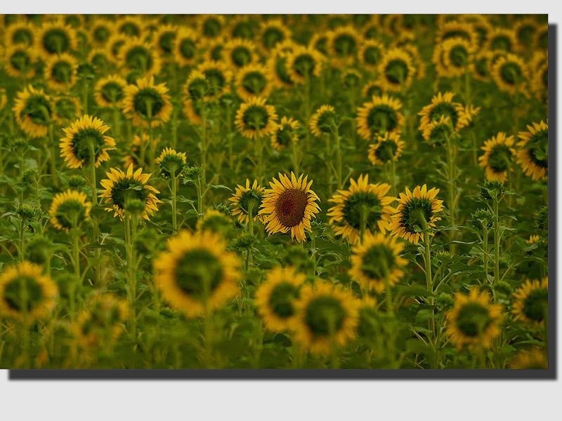 "фото ""The Rebel"" метки: природа, цветы"