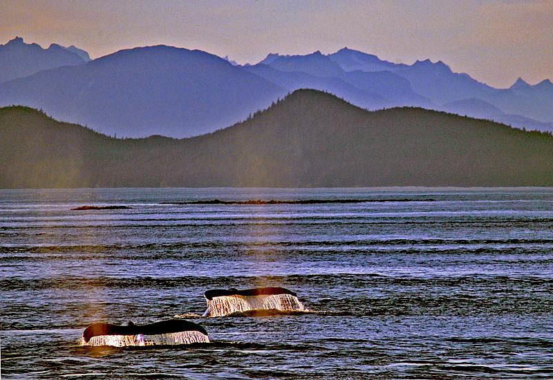 "фото ""Whale Tails"" метки: природа, дикие животные"