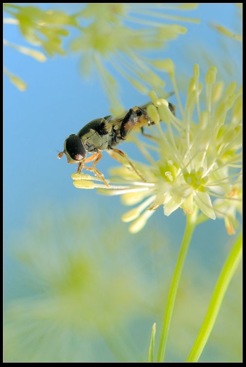 """фото """"Простомуха"""" метки: макро и крупный план, природа, насекомое"""