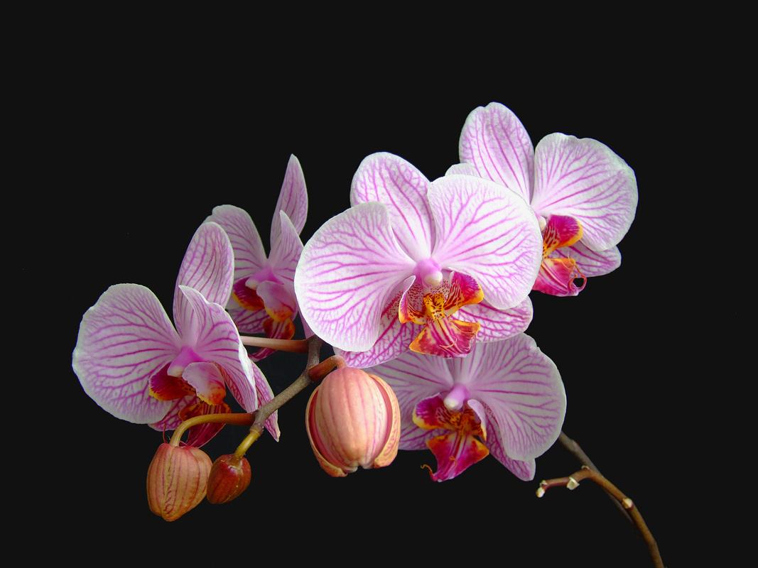 Орхидеи гифы