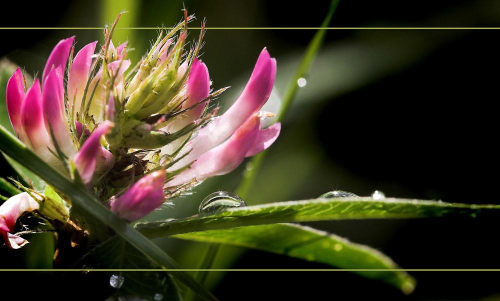 """фото """"клевер после дождя"""" метки: природа, цветы"""
