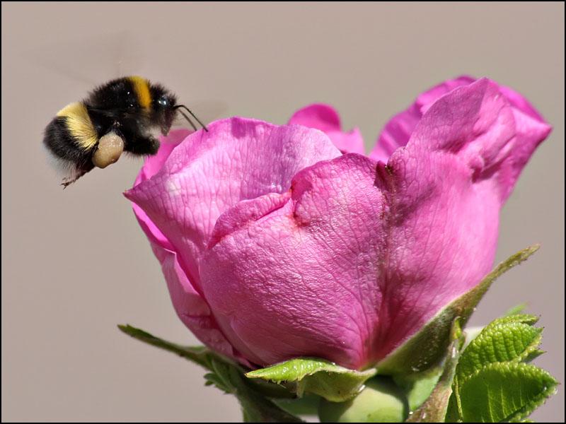 """фото """"Еще один летун"""" метки: макро и крупный план, природа, насекомое"""