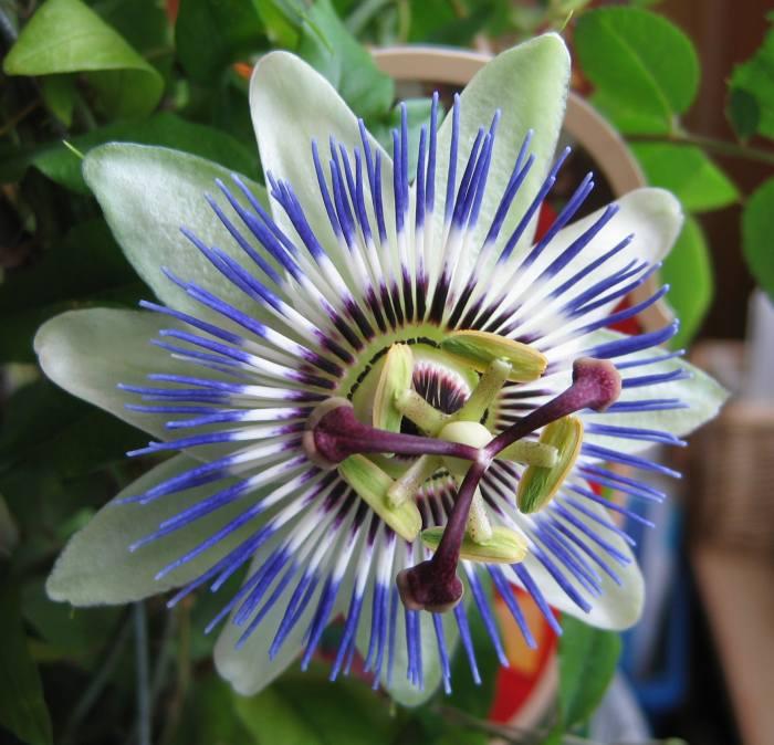 """фото """"кавалерская награда"""" метки: макро и крупный план, природа, цветы"""