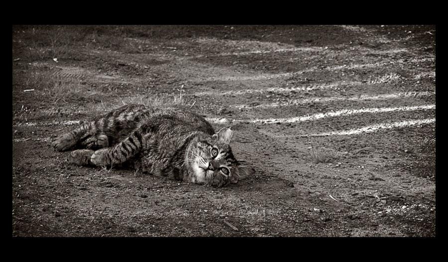 """фото """"Про кота, который терял полоски"""" метки: природа, черно-белые, домашние животные"""