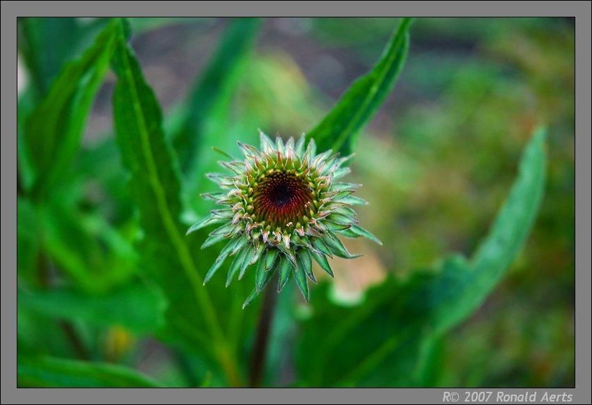 """фото """"Soon I am big"""" метки: макро и крупный план, природа, цветы"""