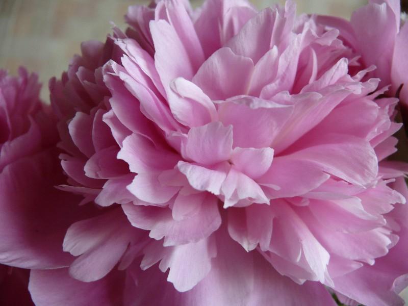 """фото """"Розовый-2"""" метки: природа, цветы"""
