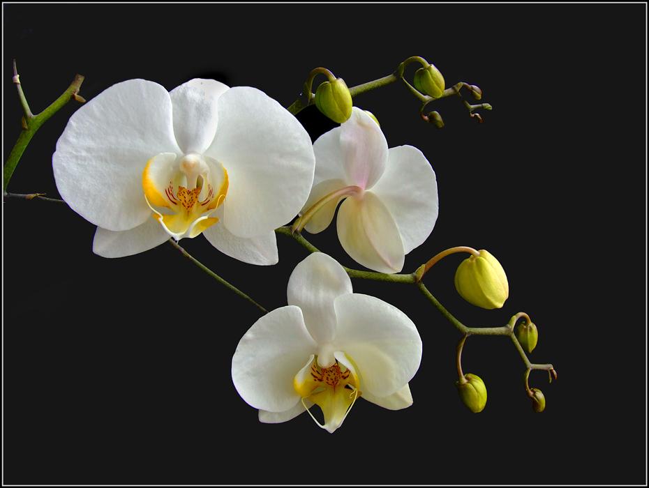 """фото """"Белые проснулись"""" метки: природа, макро и крупный план, цветы"""