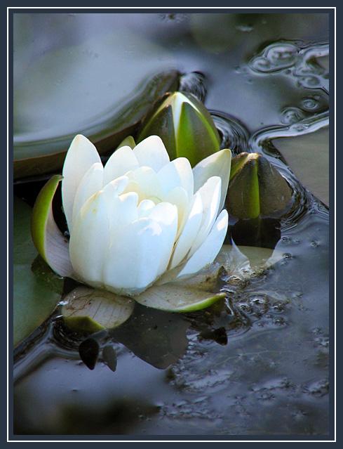"""фото """"Белая лилия"""" метки: природа, цветы"""
