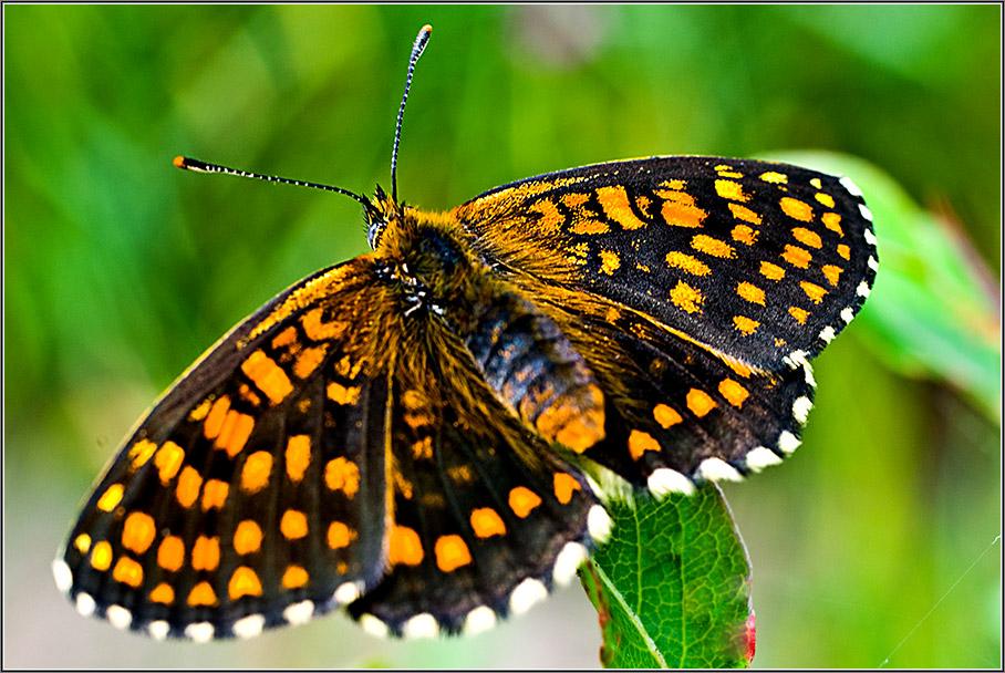 """фото """"Черное с оранжевым"""" метки: макро и крупный план, природа, насекомое"""