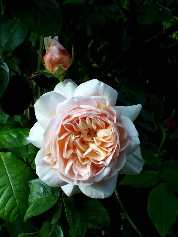 """фото """"St Cecilia (English Rose)"""" метки: макро и крупный план, природа, цветы"""