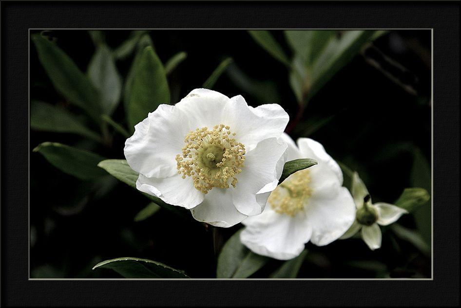 "фото ""rubus"" метки: природа, цветы"