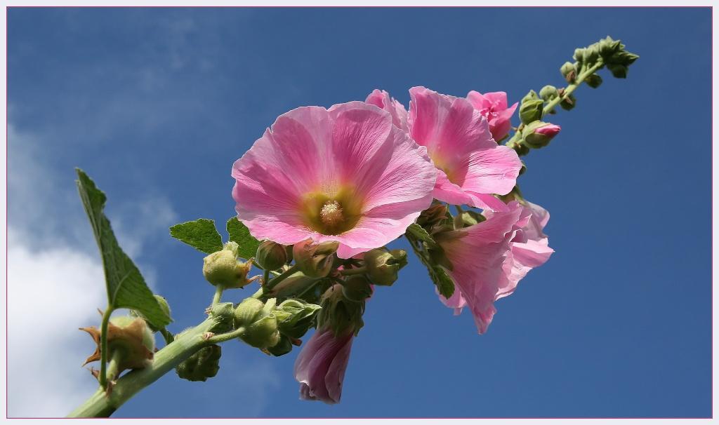 "фото ""Alcea rosea"" метки: природа, цветы"