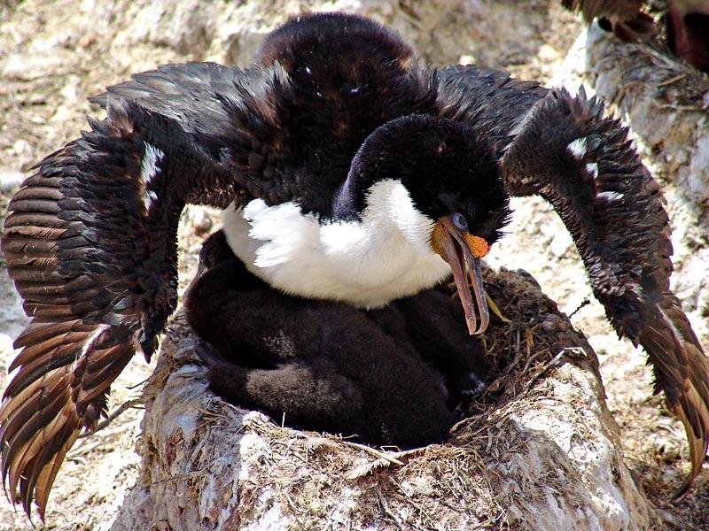 "фото ""A King Cormorant (Phalacrocorax carunculatus) protecting his nest, Falkland Islands 2004"" метки: природа, дикие животные"