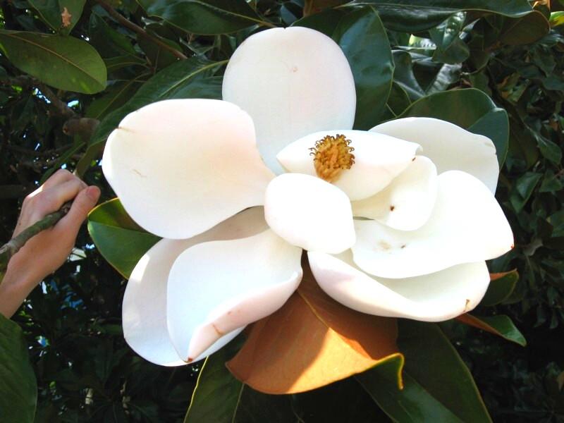 """фото """"Царица южных морей"""" метки: природа, цветы"""