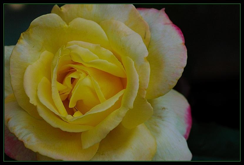 """фото """"Bella'roma"""" метки: природа, макро и крупный план, цветы"""