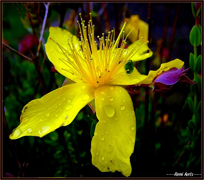 "photo ""yellow in the rain !"" tags: nature, macro and close-up, flowers"