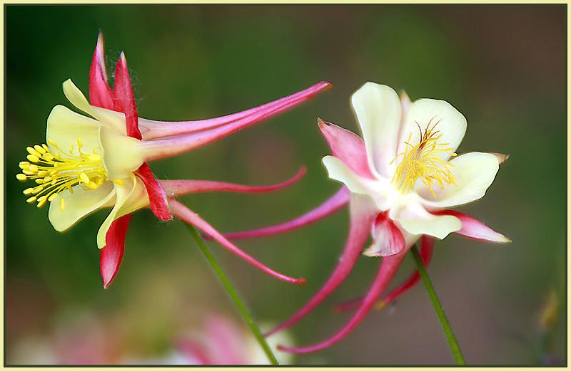 """фото """"Нежность..."""" метки: природа, цветы"""