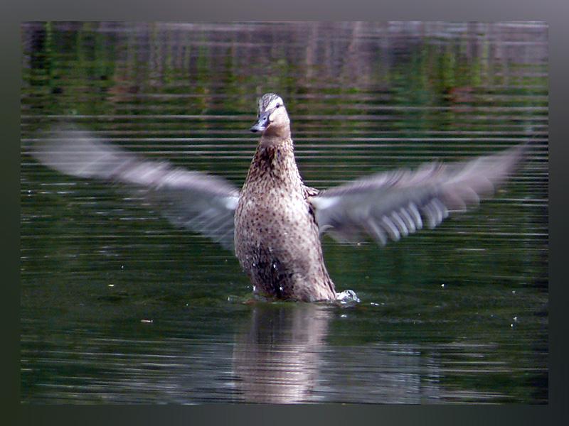 """фото """"Просто утка"""" метки: природа, дикие животные"""