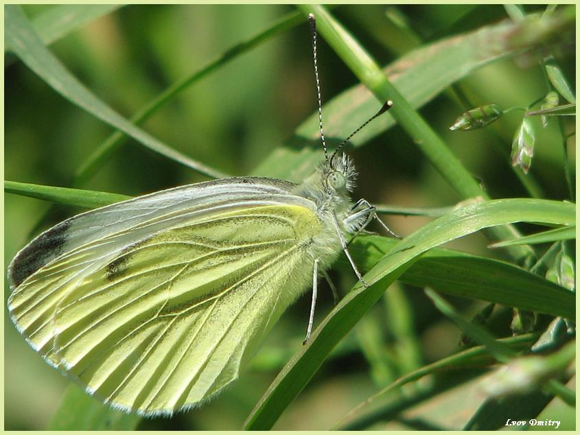 "фото ""Cabbage white butterfly"" метки: макро и крупный план, природа, насекомое"