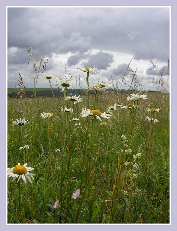 """фото """"На лугу"""" метки: природа, цветы"""