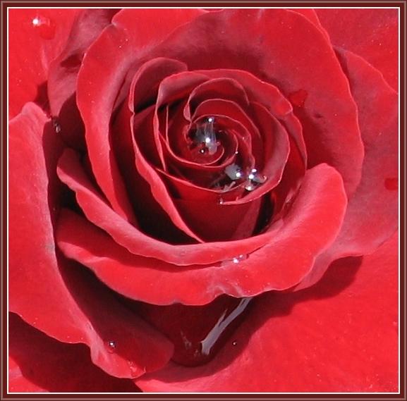 "фото ""Роза."" метки: природа, цветы"