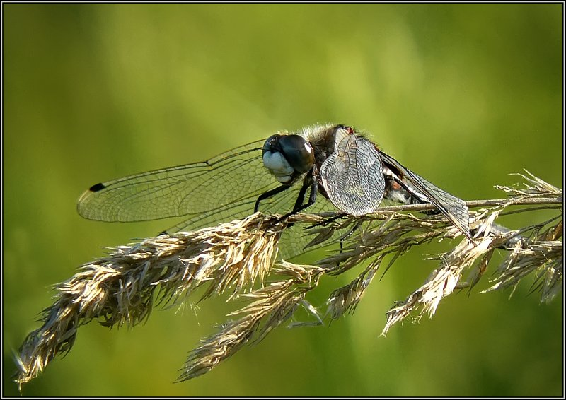 """photo """"The dragonfly relaxs"""" tags: macro and close-up, nature, insect"""