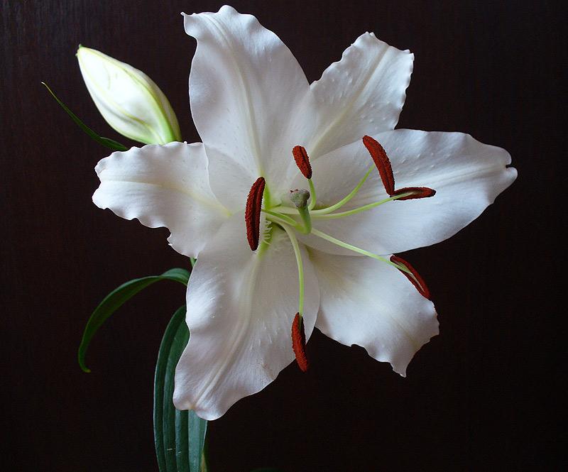 """фото """"Лилия."""" метки: природа, макро и крупный план, цветы"""