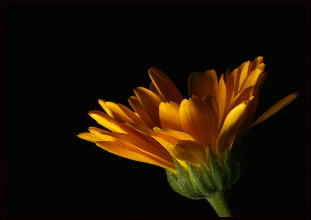 """фото """"Calendula officinalis"""" метки: природа, макро и крупный план, цветы"""