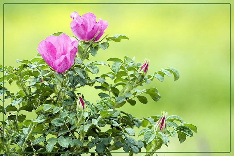 """фото """"Шиповник"""" метки: природа, цветы"""