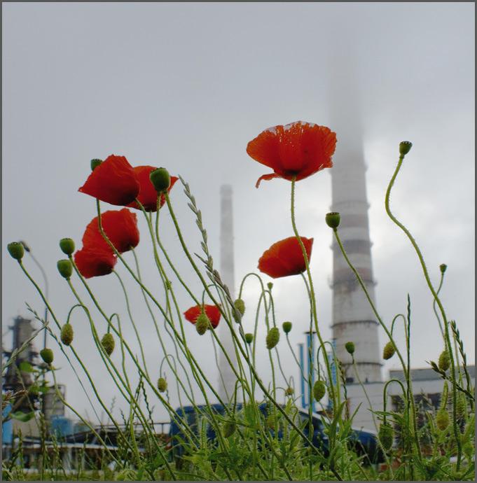 """фото """"Маки и трубы"""" метки: природа, разное, цветы"""