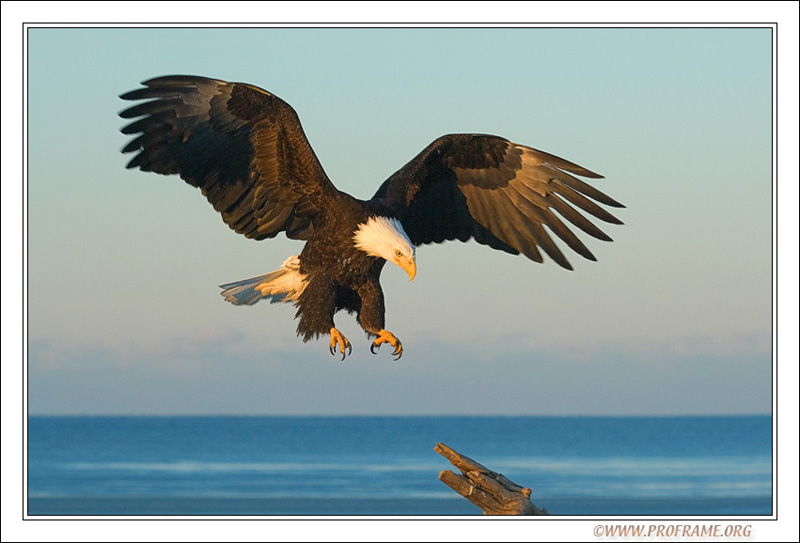 """фото """"Close to Landing"""" метки: природа, путешествия, Северная Америка, дикие животные"""