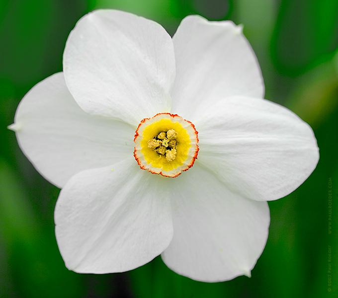"""фото """"Нарцисс"""" метки: природа, макро и крупный план, цветы"""