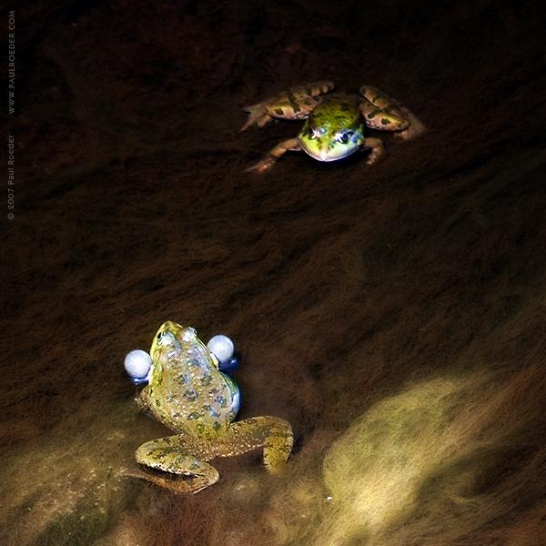 """фото """"Надувательство"""" метки: природа, макро и крупный план, дикие животные"""