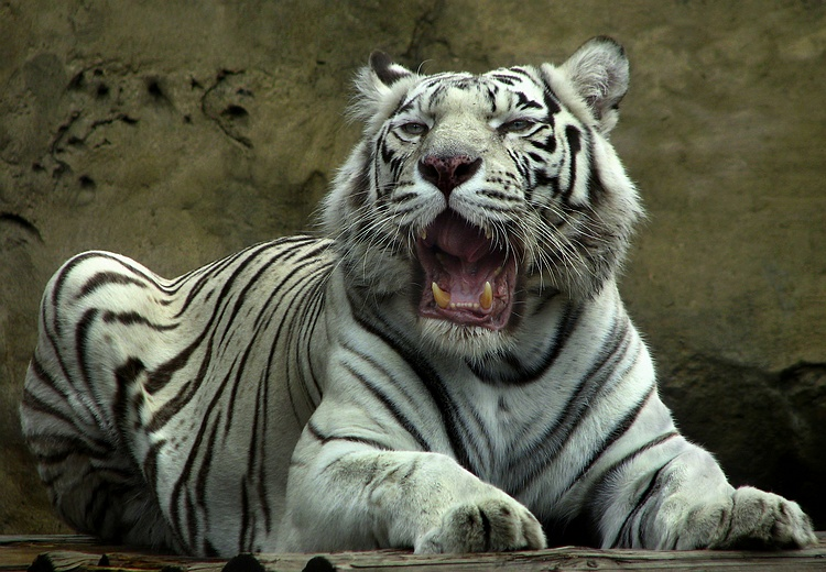"фото ""White Tiger"" метки: природа, дикие животные"