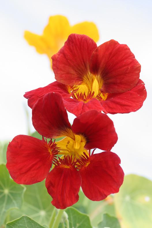 """фото """"Настурция"""" метки: природа, цветы"""