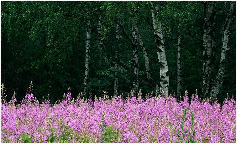 """фото """"Откуда растут березы"""" метки: пейзаж, природа, лес, цветы"""