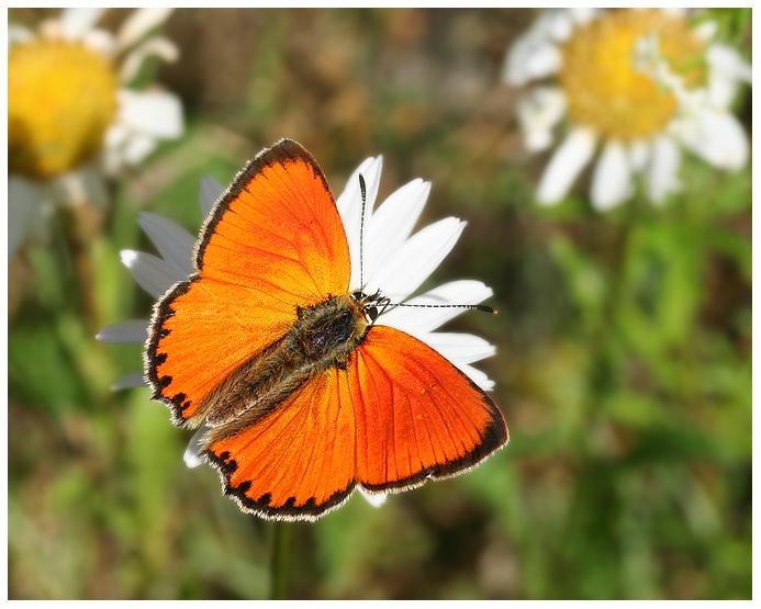 """фото """"Огненная"""" метки: природа, макро и крупный план, насекомое"""
