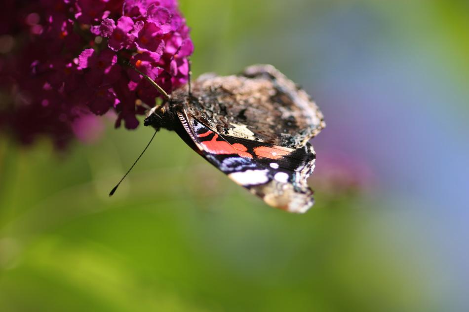 "фото ""butterfly"" метки: природа, насекомое"