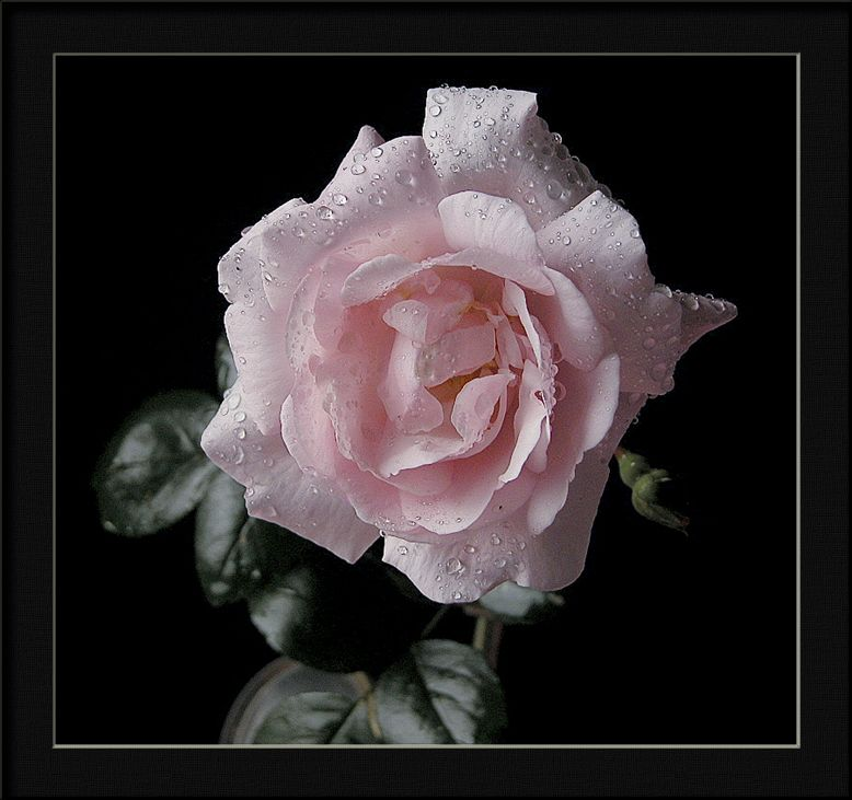 "фото ""r. new dawn"" метки: природа, цветы"