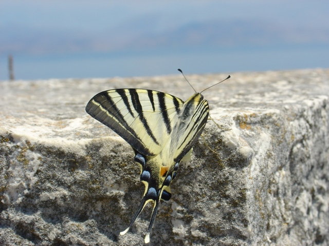 "фото ""Бабочка -парусник"" метки: природа, путешествия, Европа, насекомое"
